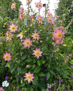 """Dahlia 'Softie' - Glowing with ginormous 4-5"""" peachy rose-tipped blooms with centers that fade to yummy lemon meringue yellow, 'Softie"""" is a show stopper."""