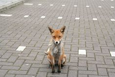 These foxes are begging in the car park of Burger King, Braehend, Glasgow.