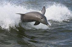 Gulf Dolphins Are Still Sick After the Deepwater Horizon Oil Spill » Focusing on Wildlife  !!!DRILL!!!SPILL!!! !!!KILL!!!KILL!!!KILL!!!