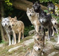 The Wolf boy's pack: Glint, Bones, Monk, Spirit, & Nana Wolf Images, Wolf Photos, Wolf Pictures, Animal Pictures, Wolf Spirit, My Spirit Animal, My Animal, Funny Animal, Beautiful Creatures