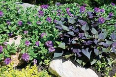 Sweet Potato Plant, how to start the slips, how to plant and grow them, how to harvest, cure, and eat them!