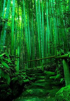 Beautiful bamboo forest. Just don't touch the green bamboo with your bare hands unless you want them full of splinters.
