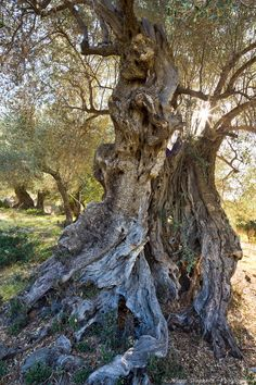 https://flic.kr/p/ddHPns | Ancient olive | A fabulous old tree but very hard to capture in anything like its entirity due to size and surroundings. Gnarled olive and peep hole ii are both from within this tree. Colour graduations of the trunk are genuine and not some trick of processing!