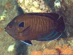 many-spined angelfish (Centropyge multispinis), Indian Ocean