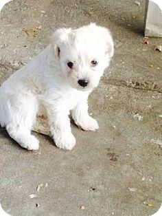 La Mirada, CA - Maltese/Poodle (Toy or Tea Cup) Mix. Meet Luke, a puppy for adoption. http://www.adoptapet.com/pet/13328348-la-mirada-california-maltese-mix