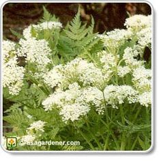 Anise- Pretty but grown mostly for it's seeds. The licorice flavor complements eggs, fruit, cheese, pastries, cakes, and cookies. The leaves are used in salads or as a garnish and dried for teas.