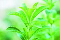 Kasvata itse steviaa! / www.fit.fi Organic Farming In India, Healthy Balanced Diet, Herbal Magic, Dry Leaf, Chrysanthemum, Perennials, Herbalism, Leaves, Pure Products