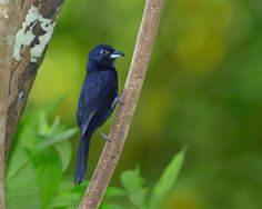 Male White-lined Tanager