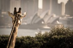 Sydney opera house is the most famous place in Australia and it is a dream destination . Visiting Taronga Zoo is recommended because. Visit Australia, Australia Travel, Sydney Australia, Australia Tours, Yolo, Sydney Opera, Victoria Building, Visit Sydney, Manly Beach