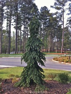 weeping evergreen trees