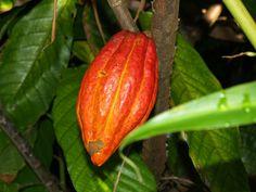 Tropical Fruits   Tropical Fruit coacoa