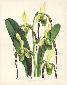 Warner Orchid Album Antique Prints 1882