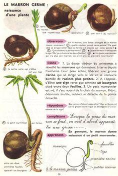 Leçons de choses: Le marron germe : naissance d'une plante