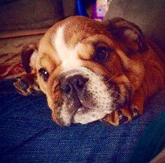 Obi at three months Bullying, French Bulldog, Pets, Animals, Animals And Pets, Animales, Animaux, French Bulldog Shedding, Bullies