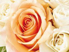 Rosa champanhe:  Respeito, admiração - Flores Jardim