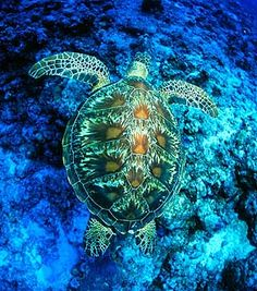 Green Sea Turtle baby | Green turtle. Photograph by Ethan Daniels, used with permission.