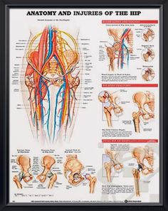 Anatomy and Injuries of the Hip anatomy poster illustrates general hip anatomy including bones, muscles, arteries, veins and nerves. Skeletal system for doctors and nurses.