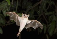 """Many bats may have small eyes, and about 70 percent of the species augment their vision with echolocation which helps them hunt at night – but blind? No way. Merlin Tuttle, founder and president of Bat Conservation International, confirms the truth in no uncertain terms: """"There are no blind bats. They see extremely well."""" So there."""