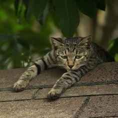 Lazy... #cat #ねこ