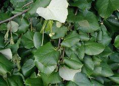 Tilia tomentosa Melvaceae - SILVER LINDEN
