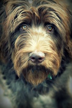 Gorgeous labradoodle - beautiful colouring, old man's beard.