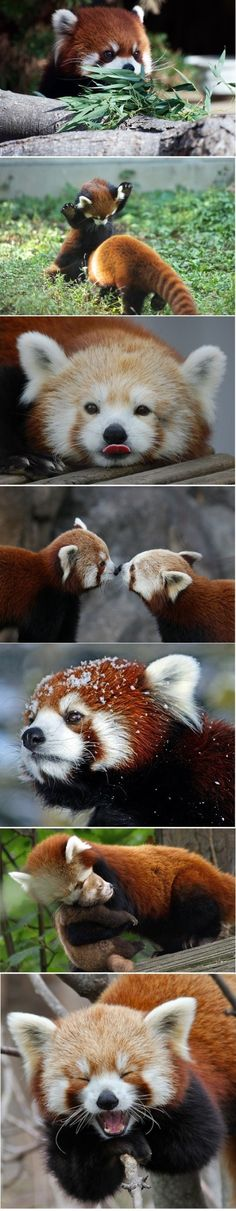 Red panda ~ ~ varieties close to raccoons, also known as Firefox