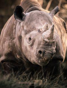 """earthsfinest:    (via """"Black Rhino"""" by Ray Meibaum)"""