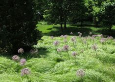 I want to do this with my front lawn! Alliums planted through ornamental grasses in a bulb lawn at Chanticleer gardens. Photo by Beth Adams.