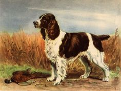 Spaniel-like dogs have existed centuries dogs of this type thought to have originated in Spain and possibly introduced to ancient Britons by Roman legions. The first of the Springer Spaniels were lan Dog Lover Gifts, Dog Gifts, Dog Lovers, English Springer Spaniel, Springer Puppies, Dog Artwork, Spaniel Puppies, Purebred Dogs, Vintage Dog