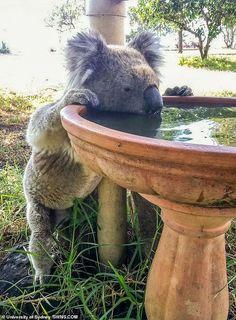 A koala drinks from a bird bath at a rural property in Gunnedah, Australia, in this recent undated handout image. Koala Baby, Baby Panda Bears, Baby Otters, Polar Bears, Cute Funny Animals, Cute Baby Animals, Animals And Pets, Wild Animals, Australian Animals
