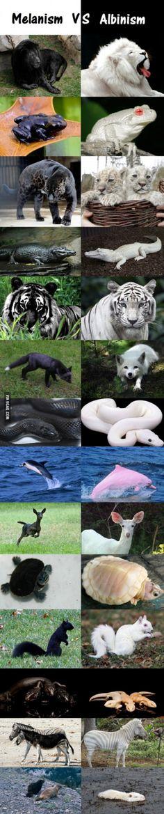 Melanism VS Albinism