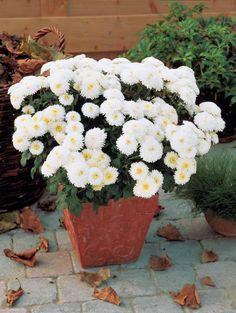 Marguerite d'automne blanche