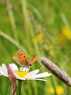 Small copper butterfly enjoy the weather on the this ox eye daisy, taken by Tracey Blackwell at Croome early June.