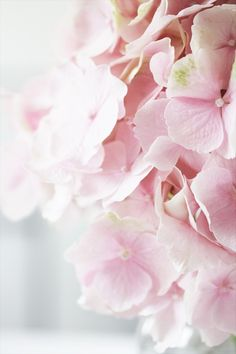 Pink Hydrangea with green specks. Hortensia Hydrangea, Pink Hydrangea, Hydrangeas, Pretty Pastel, Pastel Pink, Soft Pastels, Dusty Pink, Pink Flowers, Beautiful Flowers