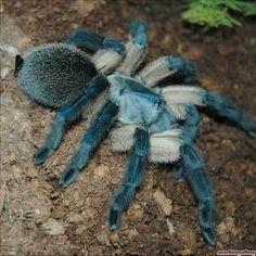 Monocentropus balfouri, Socotra Island Blue Baboon Tarantula... Beautiful!!