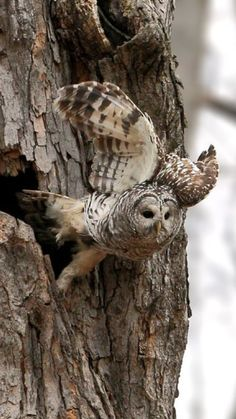 Barred Owl just leaving the nest