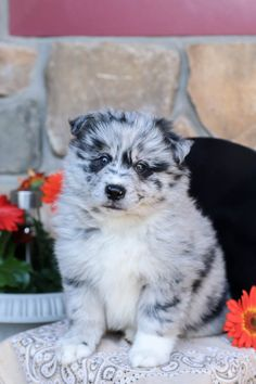 🌷👀💛Here come some #Cute and cuddly #Pomsky puppies to life a little bit sweeter! These #Darling puppies are one of a kind find in the puppy world and they can't wait to go on adventures with you! #Charming #PinterestPuppies #PuppiesOfPinterest #Puppy #Puppies #Pups #Pup #Funloving #Sweet #PuppyLove #Cute #Cuddly #Adorable #ForTheLoveOfADog #MansBestFriend #Animals #Dog #Pet #Pets #ChildrenFriendly #PuppyandChildren #ChildandPuppy #BuckeyePuppies www.BuckeyePuppies.com Pomsky Puppies For Sale, Lancaster Puppies, Animals Dog, Fun Loving, Mans Best Friend, Puppy Love, Adventure, Pets, Children
