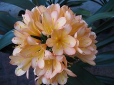 Blushing Lady   http://www.facebook.com/pages/Murillos-Exquisite-Clivias/380778435273257