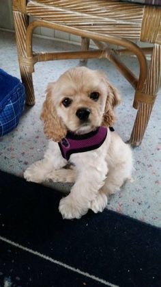 """Get fantastic recommendations on """"cocker spaniel dog"""". They are actually available for you on our site. American Cocker Spaniel, Cocker Spaniel Puppies, Animals And Pets, Baby Animals, Cute Animals, Beautiful Dogs, Animals Beautiful, Cute Puppies, Pets"""