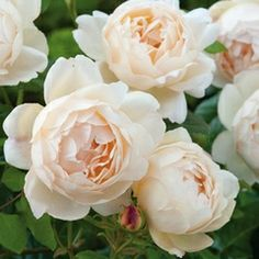 """""""Wollerton Old Hall"""", from David Austin roses.  This might be a good choice for under the bedroom windows."""