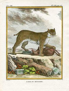 Buffon Histoire Naturelle Monkey Prints 1766