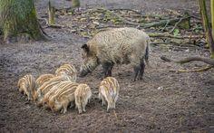 Indir duvar kağıdı Yaban domuzu, yaban domuzu, domuz, yaban hayatı, orman