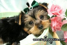NYC Puppy - Yorkies for sale