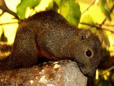 All sizes | Ecureuil à ventre rouge (Callosciurus erythraeus) | Flickr - Photo Sharing!