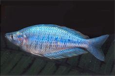 A website dedicated to Rainbowfishes of Australia and New Guinea Tropical Aquarium, Rainbow Fish, Freshwater Fish, Fresh Water, Rainbows, Tanks, Australia, Animals, Website
