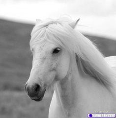 My horse,White beauty Most Beautiful Animals, Beautiful Horses, Beautiful Creatures, Beautiful Things, Pale Horse, White Horses, Horse Mane, My Horse, Penguin Life