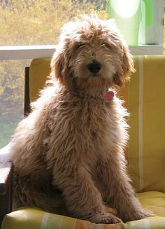 This is what I imagine my goldendoodle will look like. :)