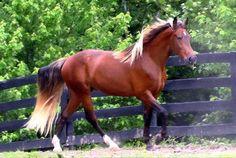 Kokomo Bay -Kentucky Mountain Horse - KY