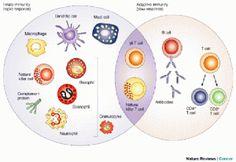 Relación entre inmunidad innata y adquirida
