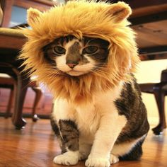Lion Hat for Cats. If I ever get a cat, it will have a lion hat! I Love Cats, Cute Cats, Funny Cats, Funny Animals, Cute Animals, Funniest Animals, Costume Chat, Pet Costumes, Halloween Costumes